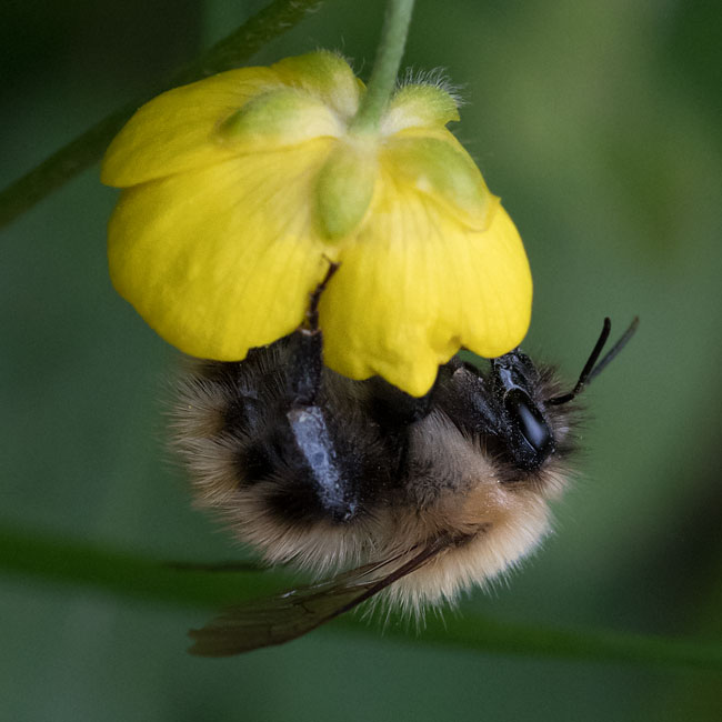 Bumble Bee - Common Carder